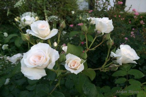 007-薔薇
