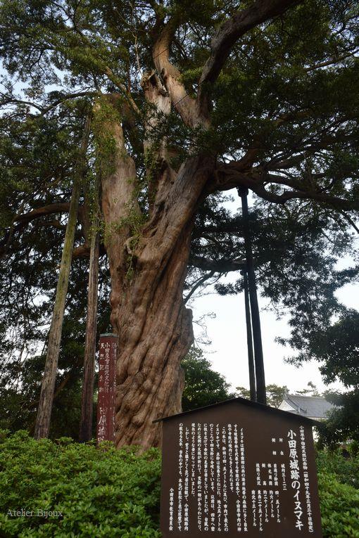 050-小田原城内巨木