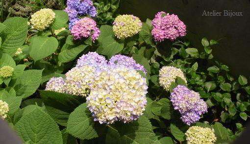 087-紫陽花