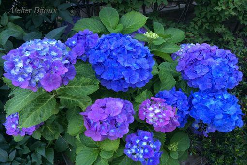 093-紫陽花