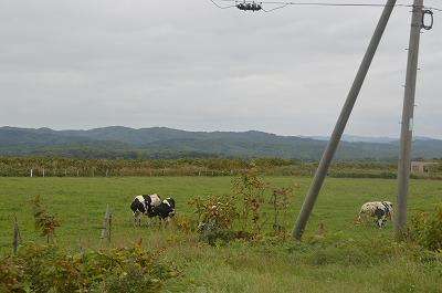 牛さんのんびり
