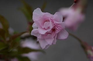 八重咲富士桜