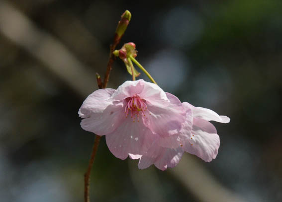 kawaduzakura_20140310_DSC_6687.jpg
