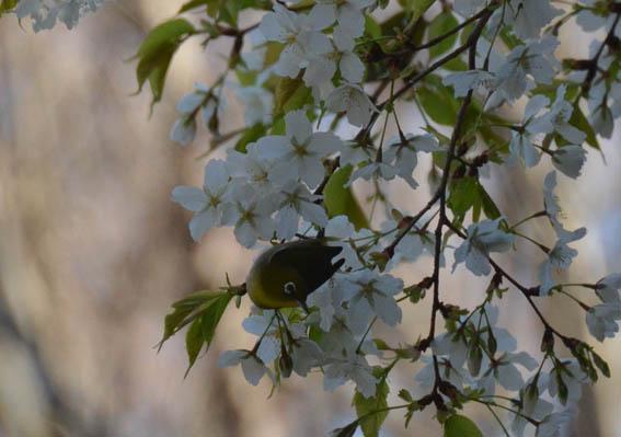 mejiro_20140317_DSC_7405.jpg