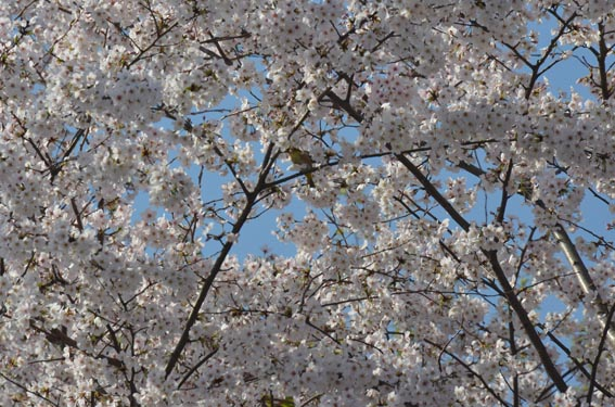 mejiro_sakura_20140328_DSC_8615.jpg