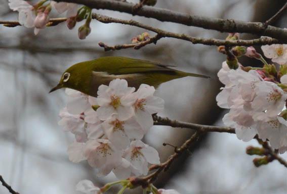 mejiro_someiyosino_20140319_DSC_7661.jpg