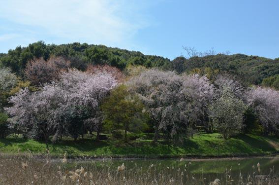 sakuraike_20140401_DSC_9004.jpg