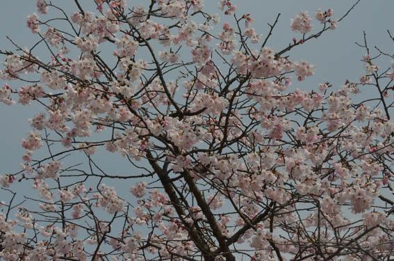 someiyosino_20140316_DSC_7345.jpg