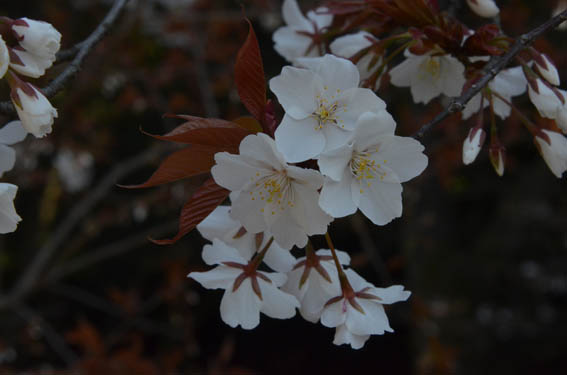 yamazakura_20140324_DSC_8411.jpg
