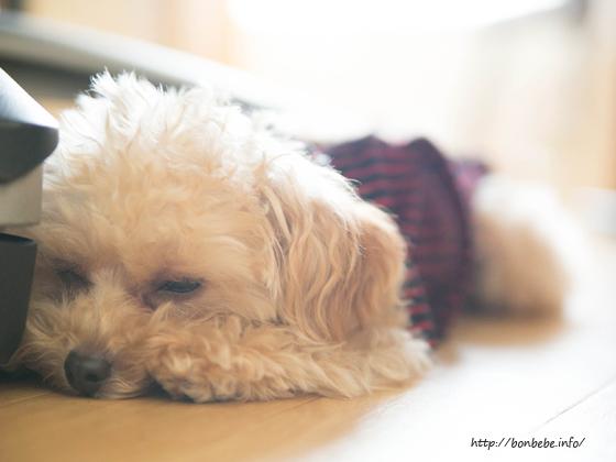 トイプードル 眠る