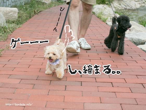 トイプードル お散歩