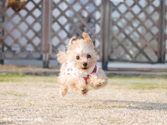 飛行犬 子犬