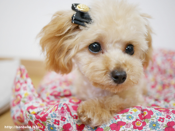 犬 リボン 黒