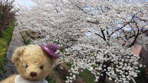 2014くま子と桜