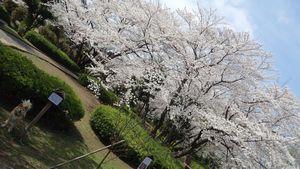 2014モコと桜