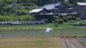 アオサギの飛翔2