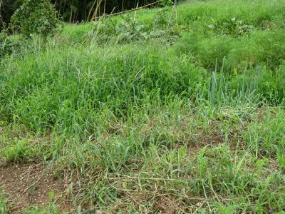 DSC00236ボウボウの畑