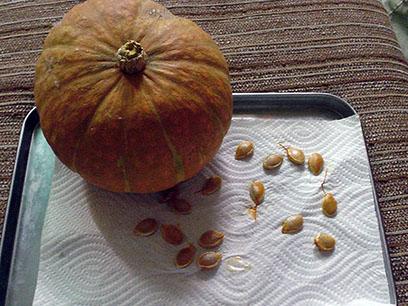 かぼちゃ種取りクラブ2014