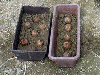 サトイモ芽出し1_2