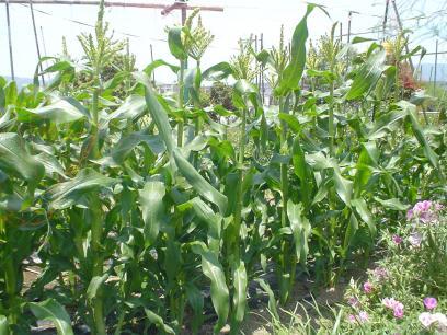 2014トウモロコシ まもなく収穫