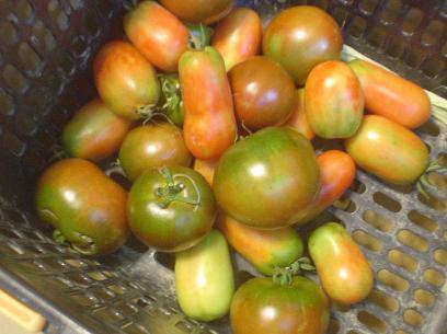 トマト収穫201407
