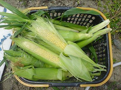 トウモロコシ収穫2014