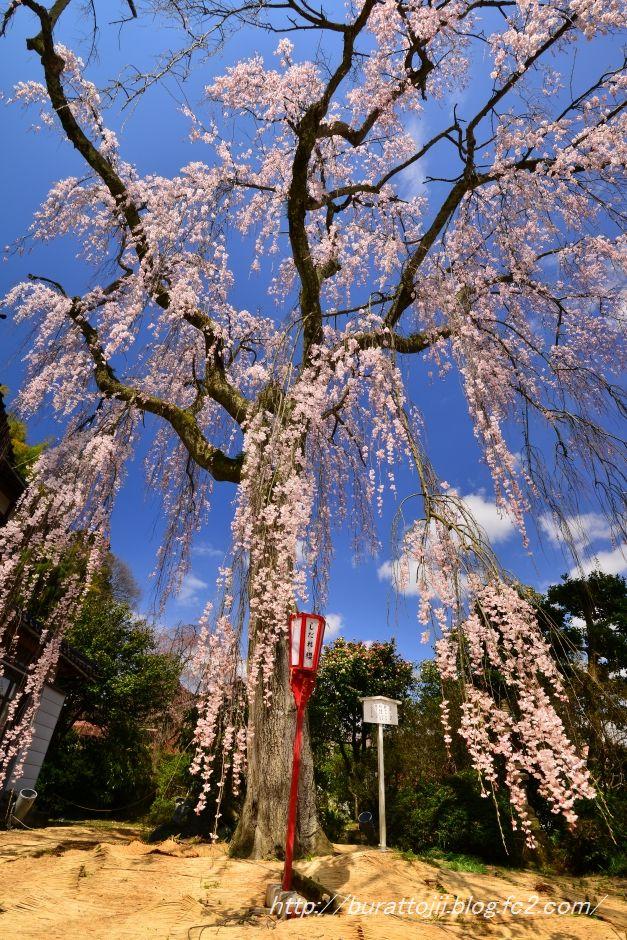 2014.04.05喜多家しだれ桜2