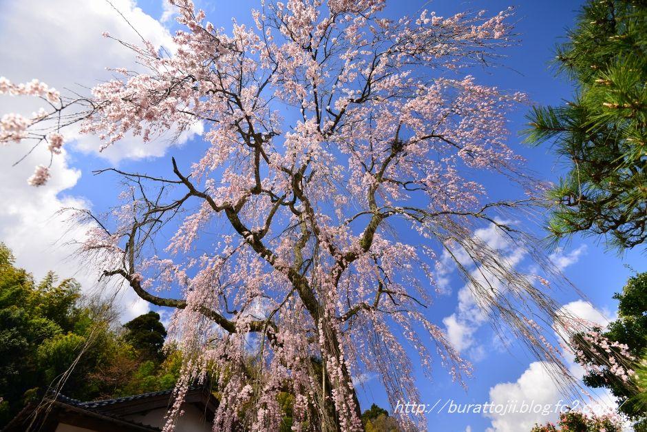 2014.04.05喜多家しだれ桜1
