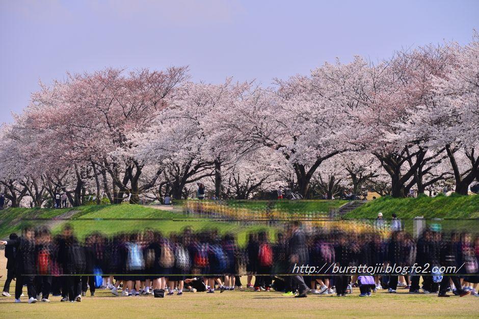2014.04.09犀川桜11