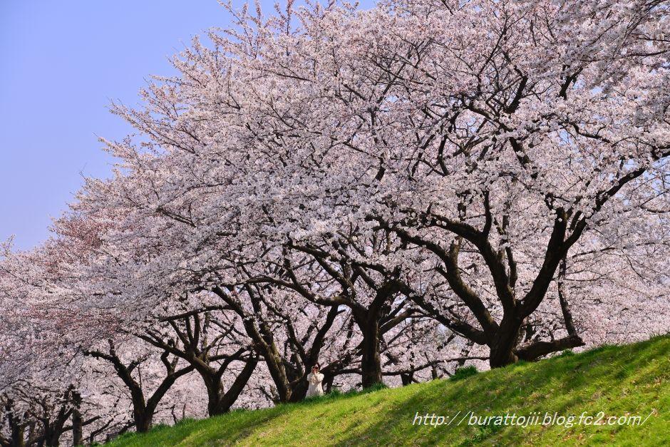 2014.04.09犀川桜10