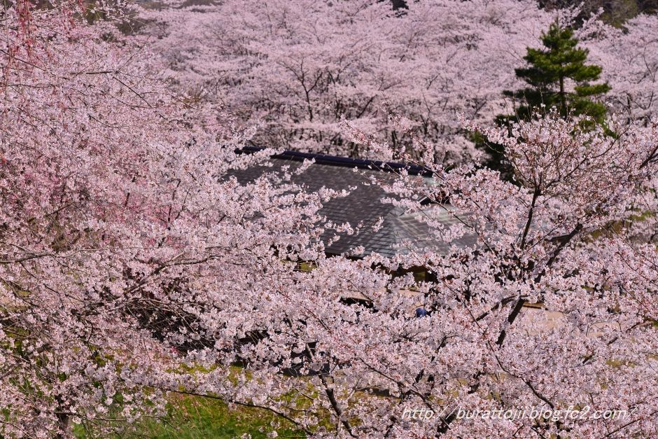 2014.04.11卯辰山400年の森桜10