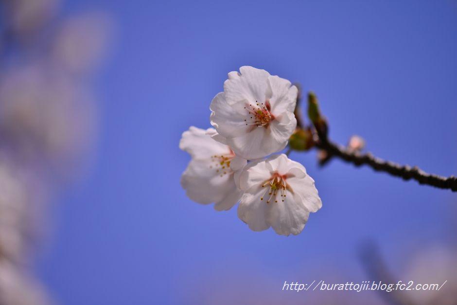2014.04.11卯辰山400年の森桜9
