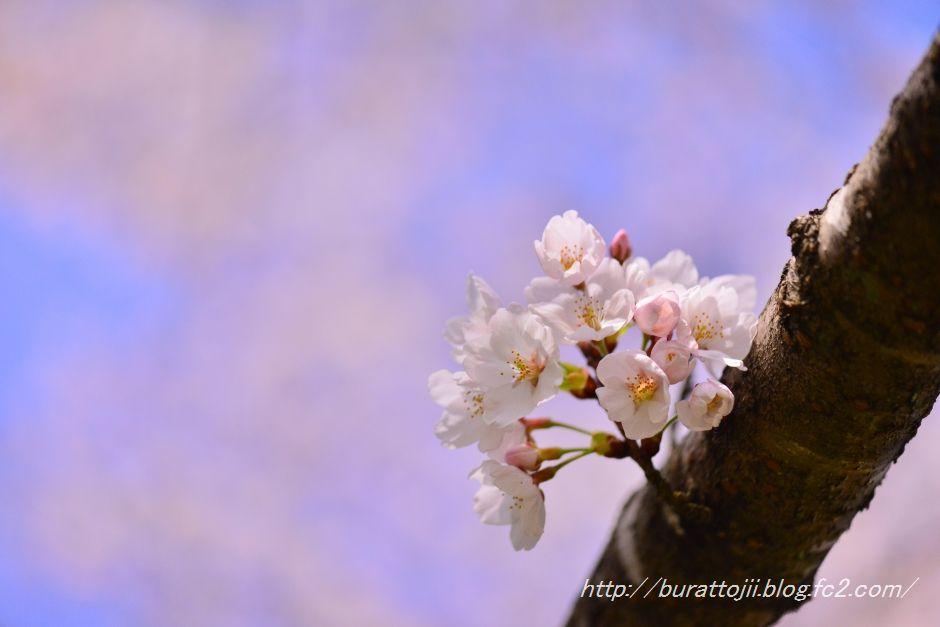 2014.04.11卯辰山400年の森桜7