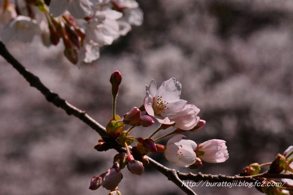 2014.04.11卯辰山400年の森桜8