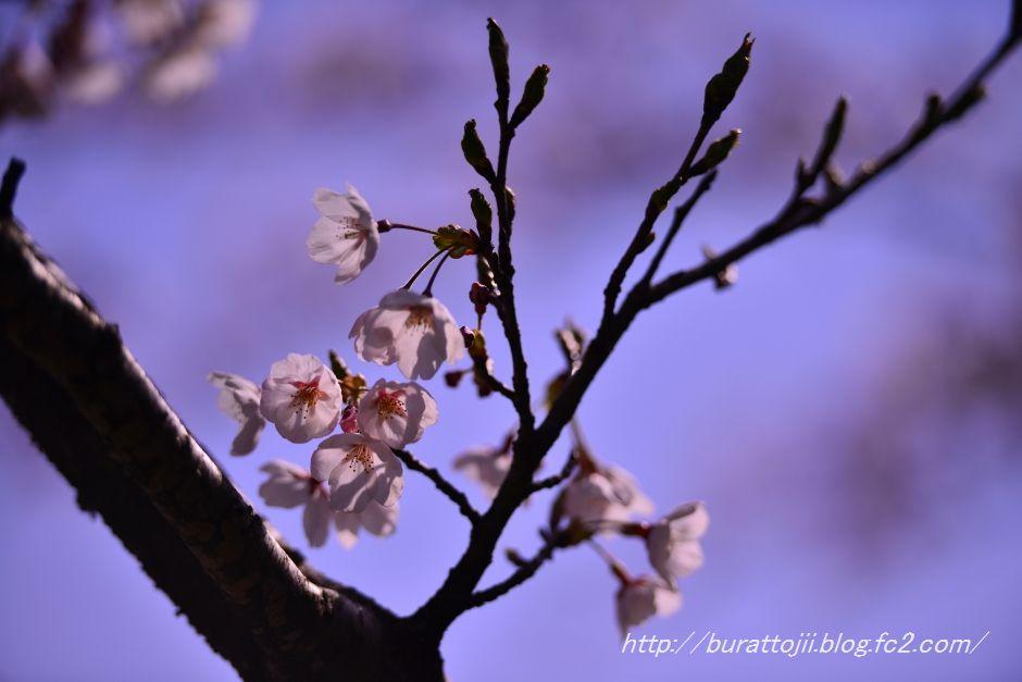 2014.04.11卯辰山400年の森桜6