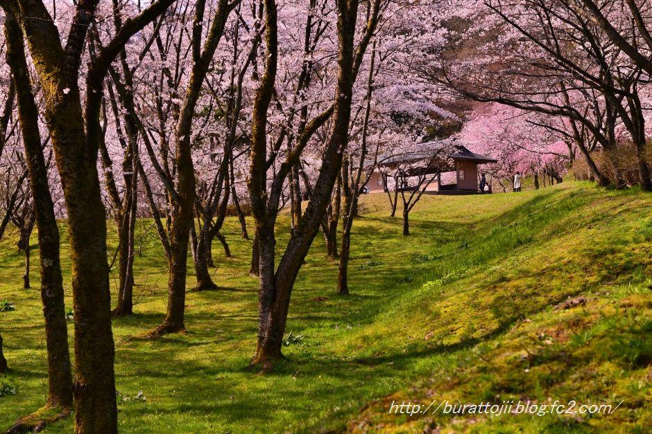 2014.04.11卯辰山400年の森桜5