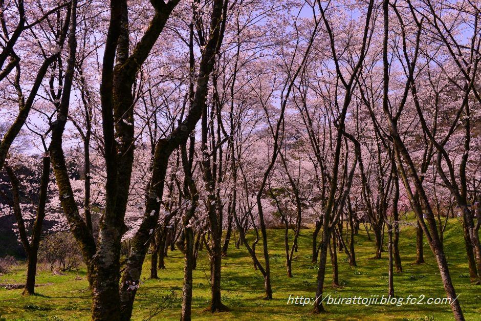 2014.04.11卯辰山400年の森桜4