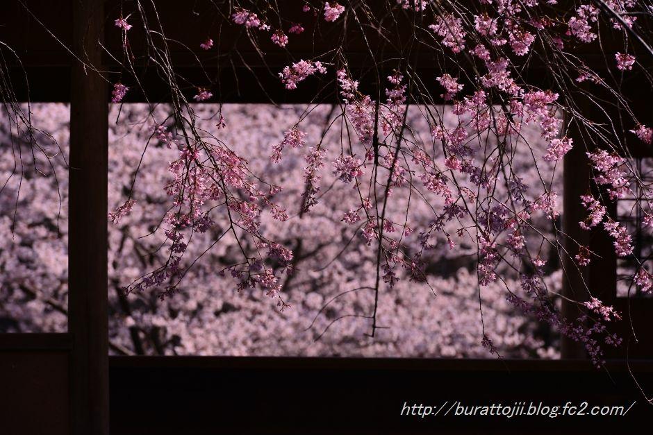 2014.04.11卯辰山400年の森桜2