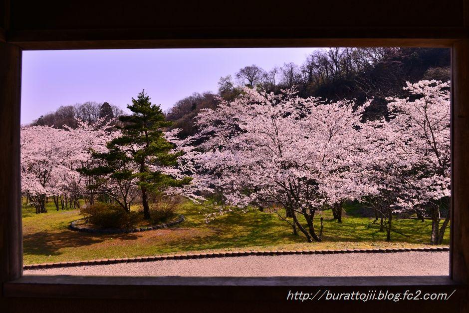 2014.04.11卯辰山400年の森桜3