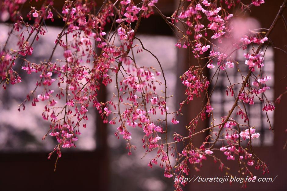 2014.04.11卯辰山400年の森桜1