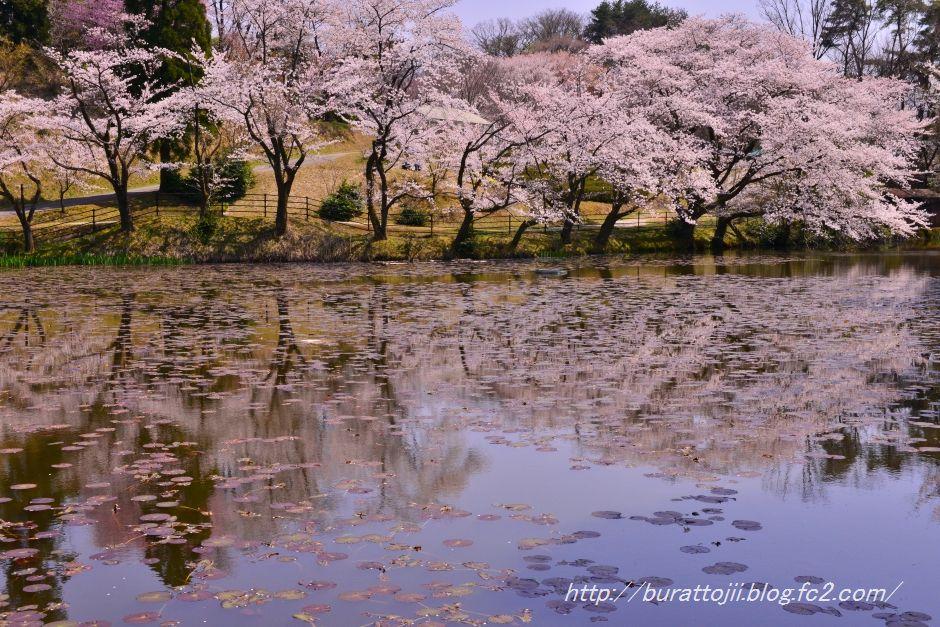 2014.04.11奥卯辰山健民公園大池の桜3