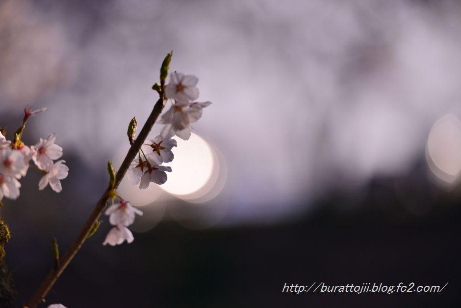 2014.04.11奥卯辰山健民公園大池の桜4