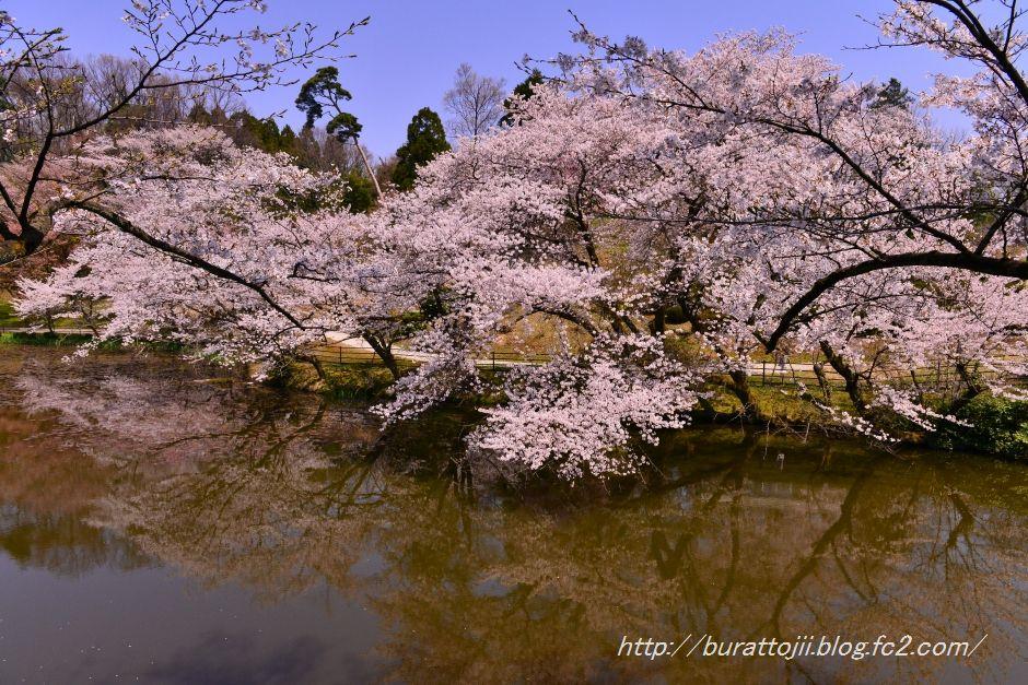 2014.04.11奥卯辰山健民公園大池の桜2