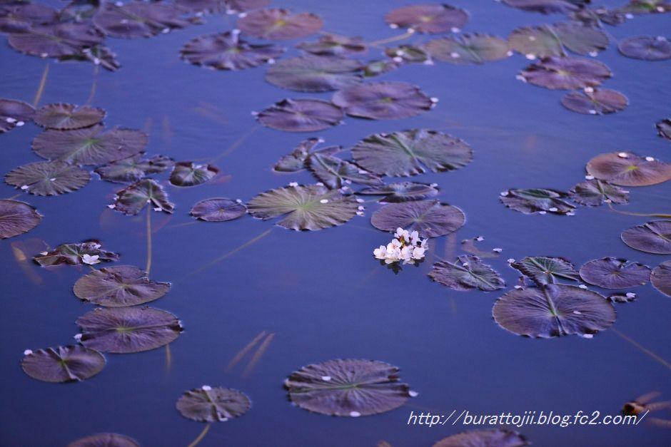 2014.04.11奥卯辰山健民公園大池の桜1