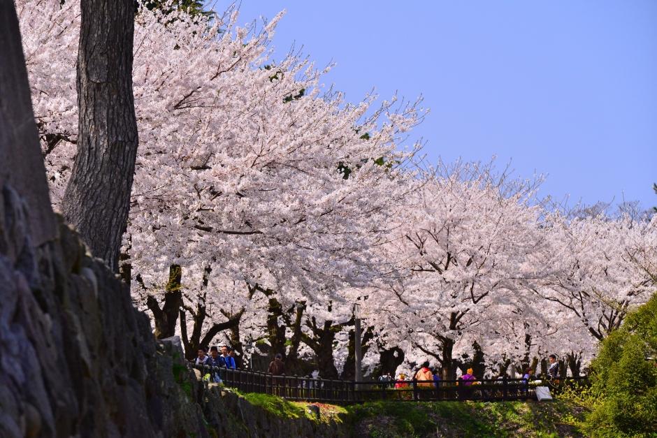 2014.04.12金沢城日中の桜6