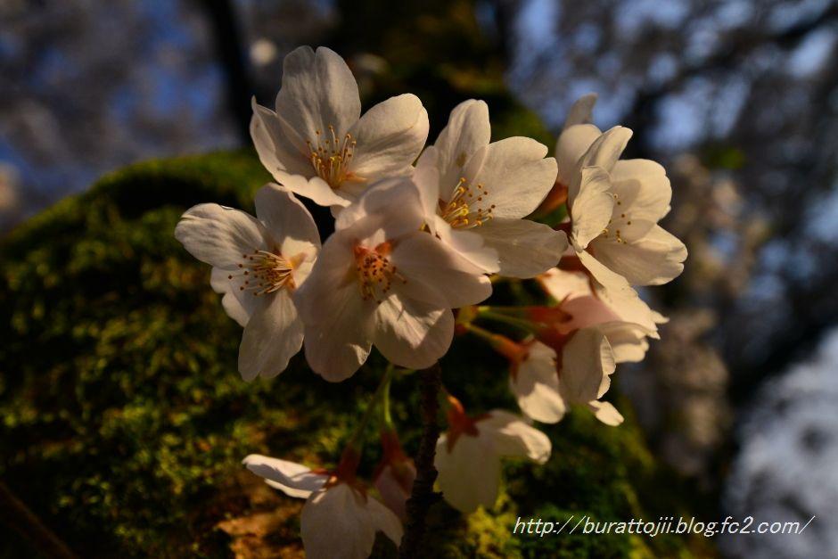 2014.04.12主計町の桜5