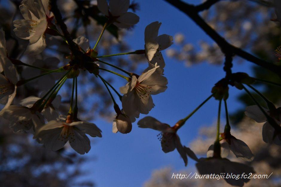 2014.04.12主計町の桜3