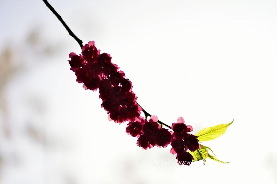 2014.04.16七尾小丸山公園桜2