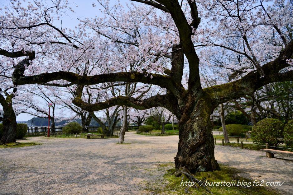2014.04.16七尾小丸山公園桜1