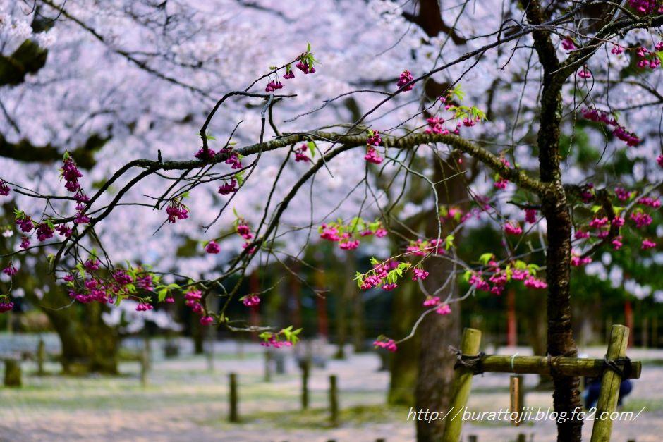 2014.04.16七尾小丸山公園桜3